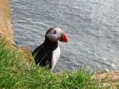 Puffin - Click to enlarge